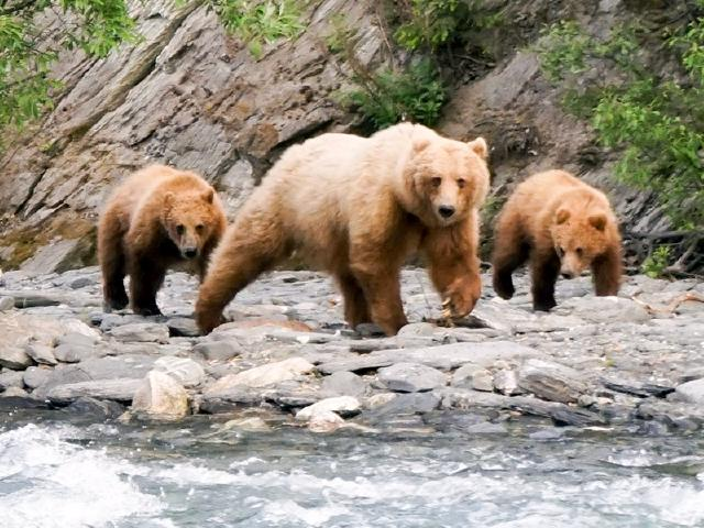 brown bear and two bear cubs searching for salmon in the Lowe River to eat